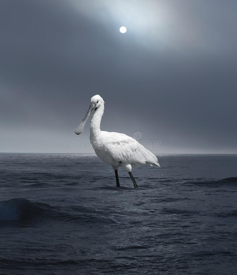 White Giant Bird Walking in the Sea at Sunset. stock images