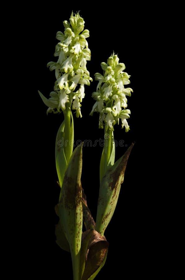 White Giant Orchid plants over black - Himantoglossum robertianum stock photos