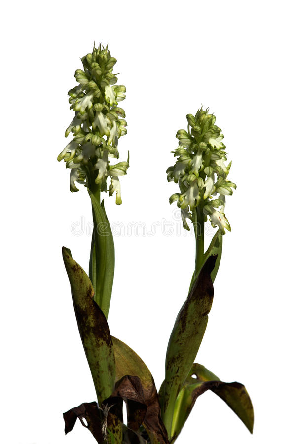 White Giant Orchid plants over white - Himantoglossum robertianum royalty free stock image