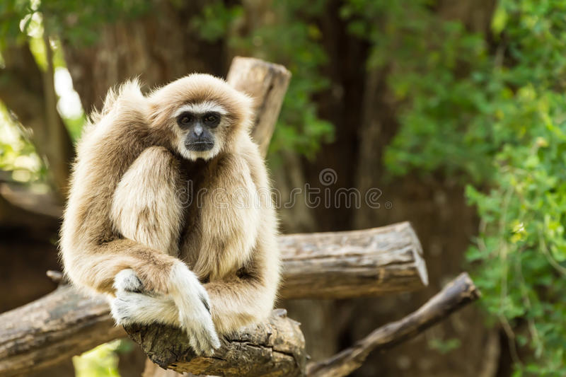 White gibbon. Sitting on timber in zoo, Thailand royalty free stock photography