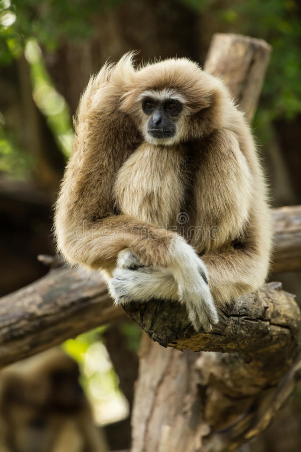White gibbon. Sitting on timber in zoo, Thailand stock photography