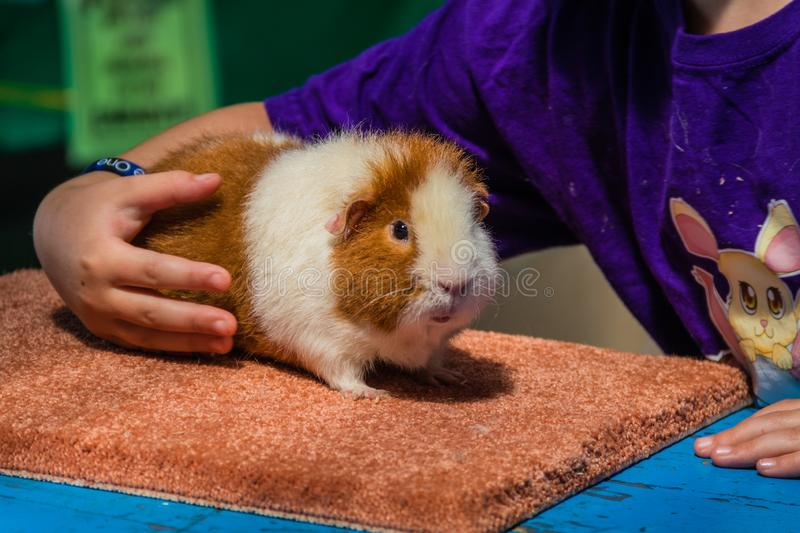 White and Ginger Teddybear Guinea Pig at 4H display at county fair stock image