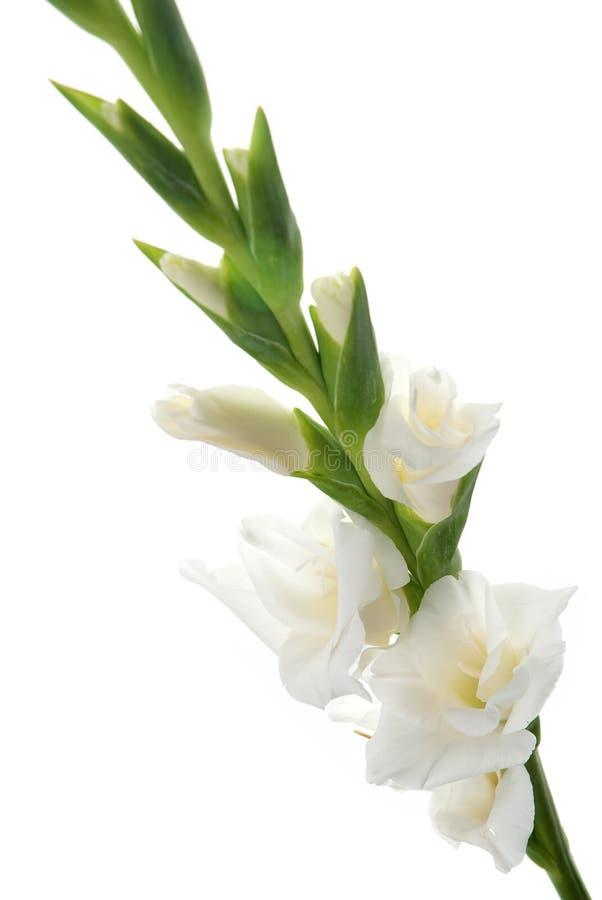 White Gladiolus detail royalty free stock photo