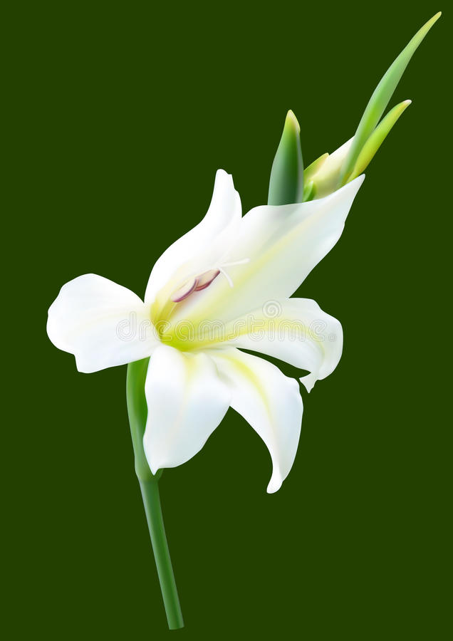 White gladiolus flower stock vector illustration of summer 42908830 download white gladiolus flower stock vector illustration of summer 42908830 mightylinksfo