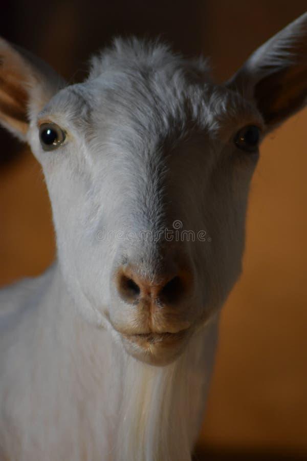 White goat with black eyes royalty free stock photo