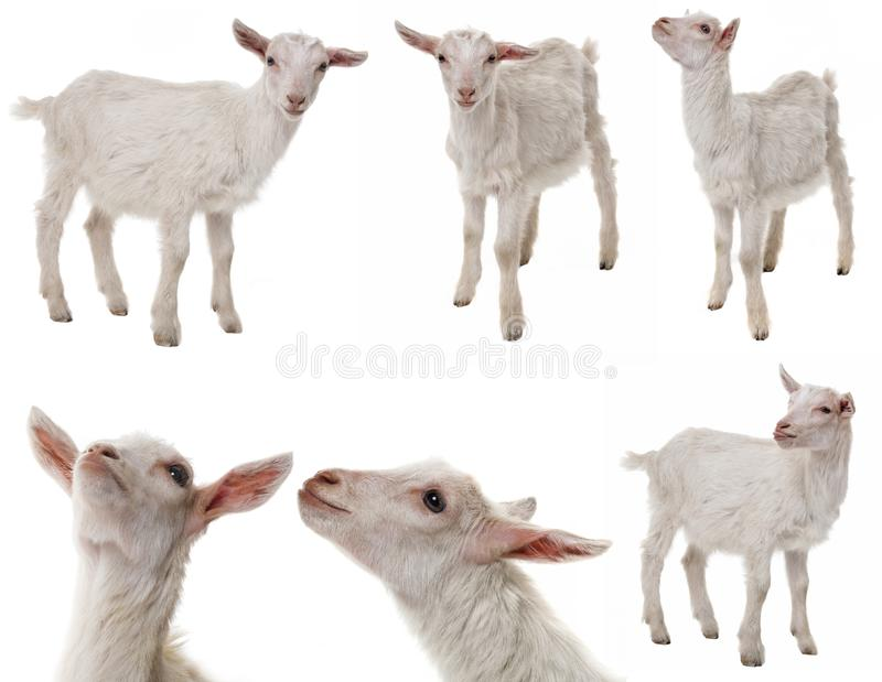 White goat a collection royalty free stock photos