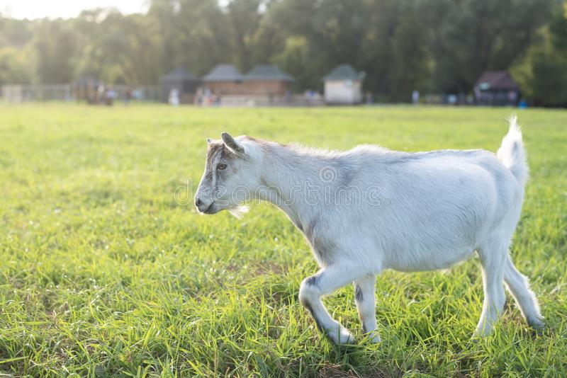White goat goes from right to the left in a meadow and looking stubborn. Warm summer evening light. Copy space. White goat goes from right to the left in a stock images