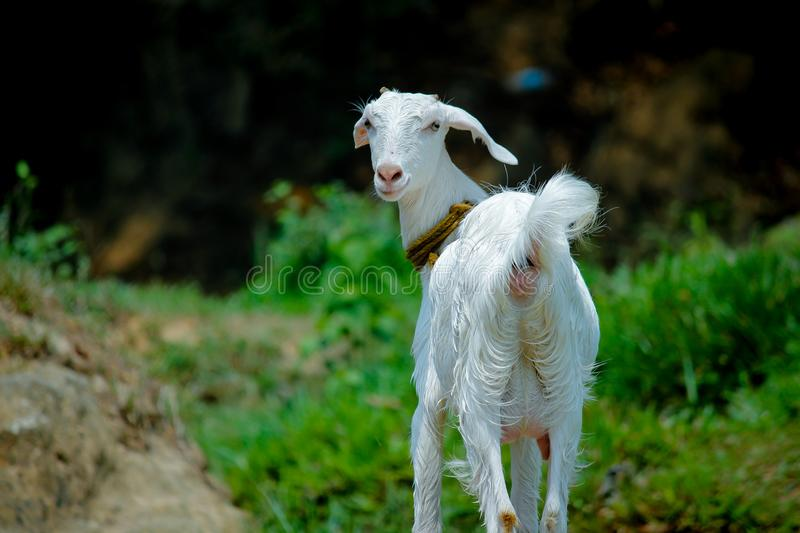 White Goat in Grass Field stock images
