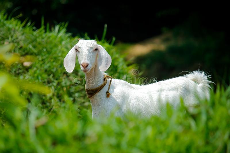 White Goat in Grass Field stock photography