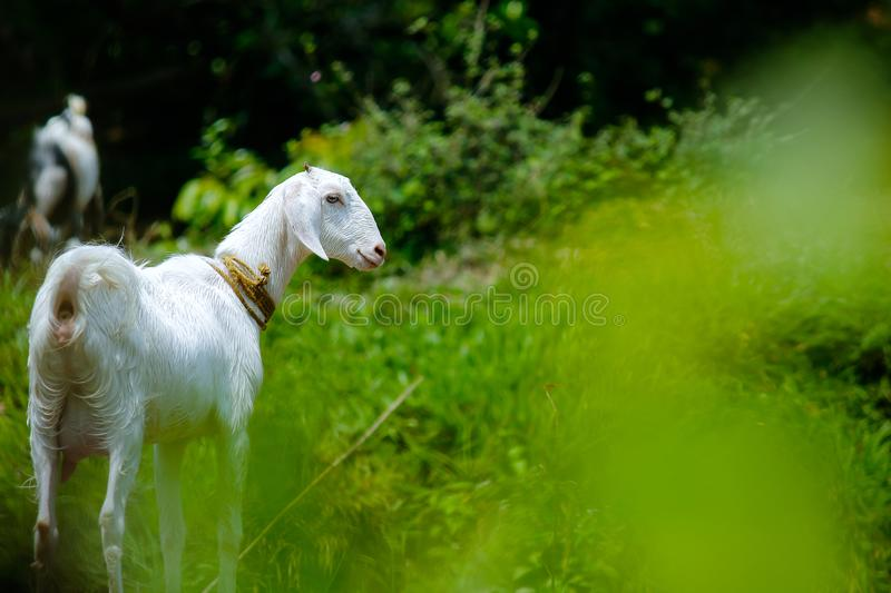 White Goat in Grass Field stock image
