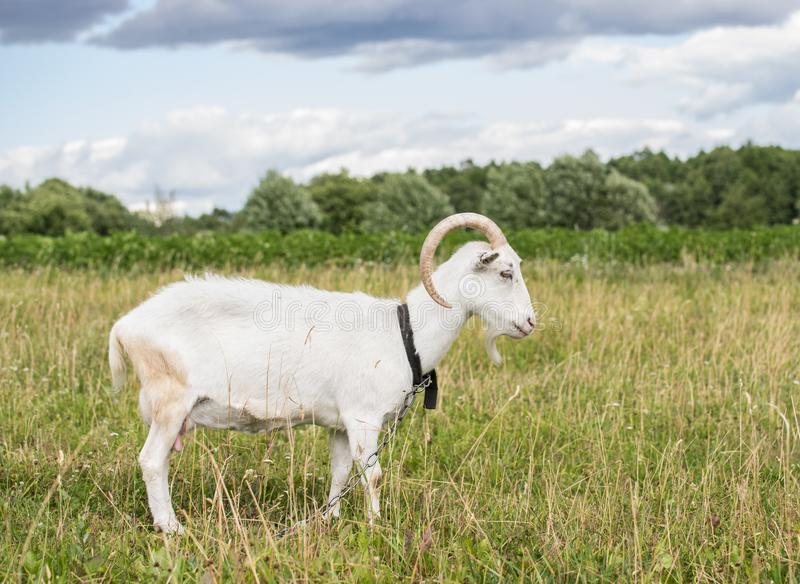 White goat grazing in the field on a summer day stock photography