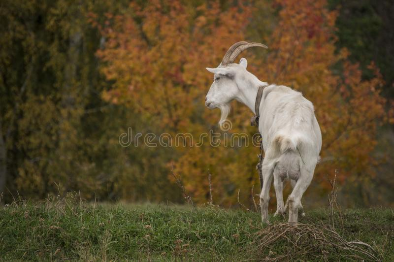 White goat on a background of bright red autumn trees stock photo