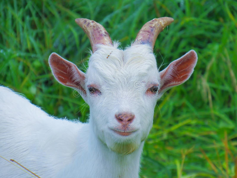White goat home stock photography