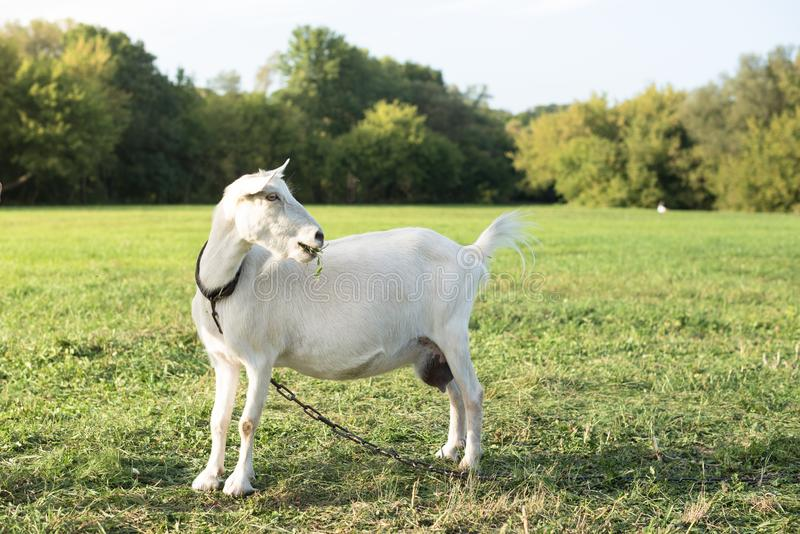 White goat on a leash turns its head right and looking stubborn. Warm summer evening light. Copy space. White goat goes from right to the left in a meadow and stock photography