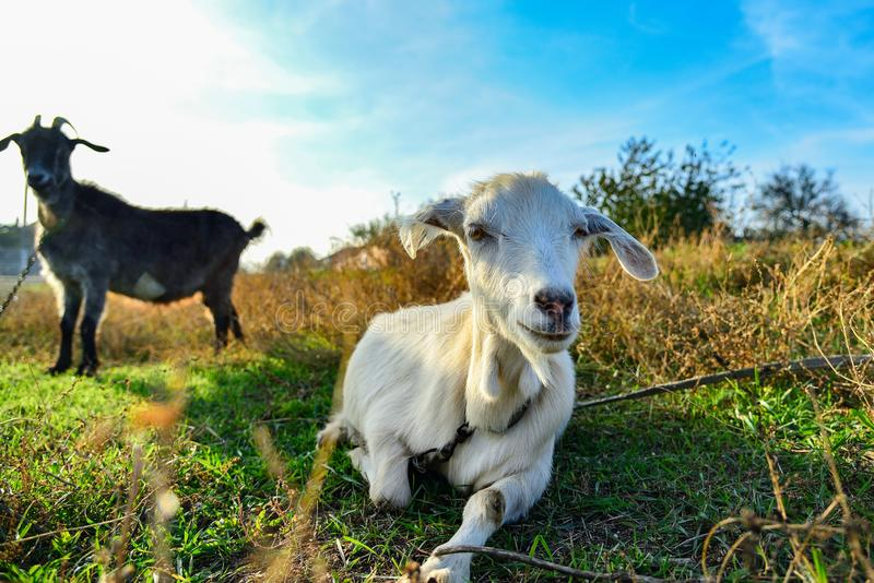 White goat on the nature of a wide angle, on the horizon a black goat, on a pasture against a blue sky.  stock photography