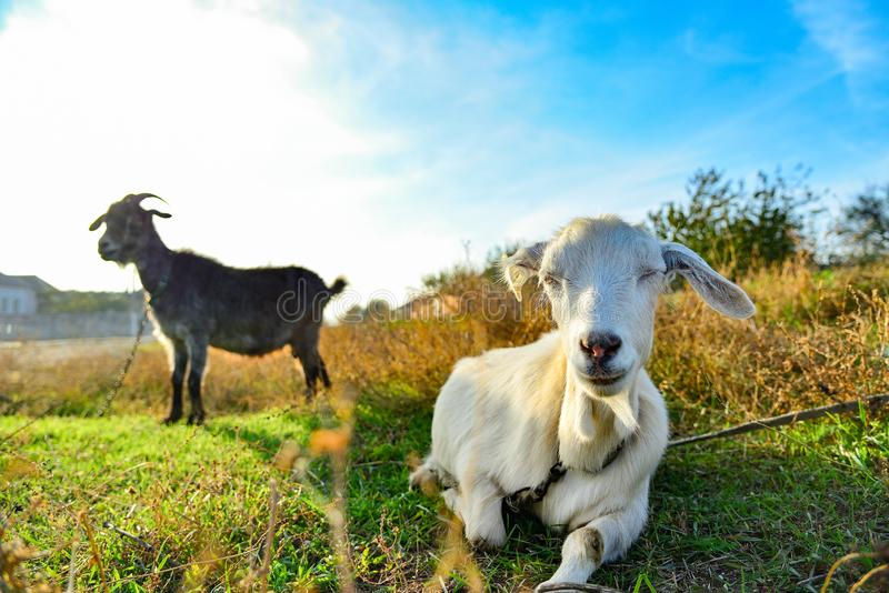 White goat on the nature of a wide angle, on the horizon a black goat, on a pasture against a blue sky.  stock image