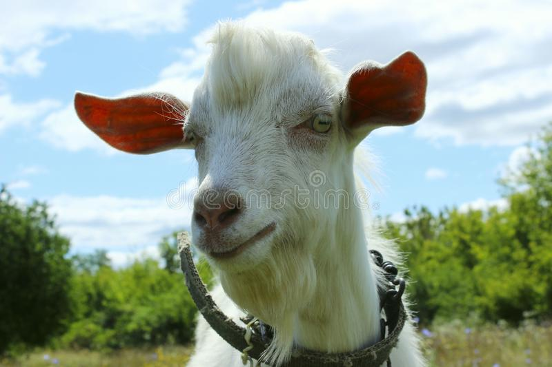 White goat outdoors. Goat Standing In Farm Pasture. Shot Of A Herd Of Cattle On A Dairy Farm. Nature, Farm, Animals Concept. Meadow and Goat royalty free stock photo