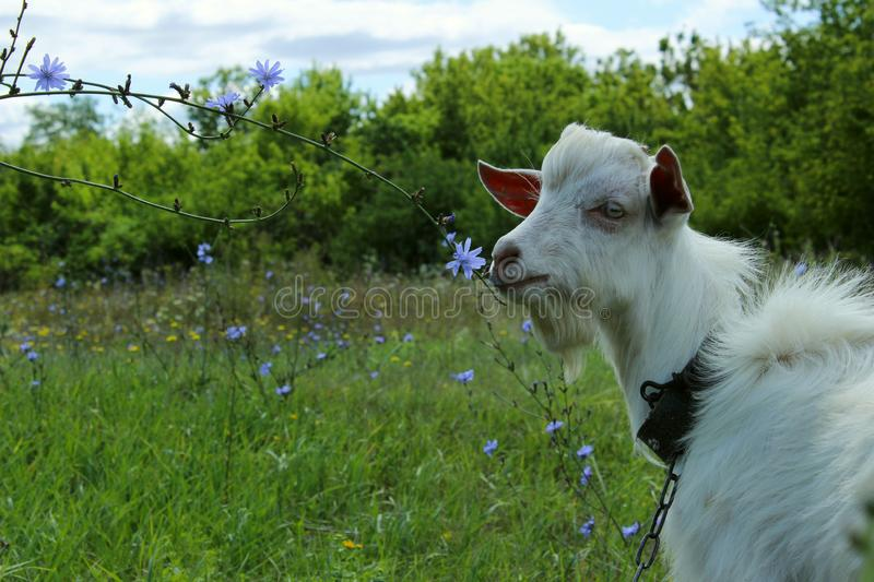 White goat outdoors. Goat Standing In Farm Pasture. Shot Of A Herd Of Cattle On A Dairy Farm. Nature, Farm, Animals Concept. Meadow and Goat royalty free stock images