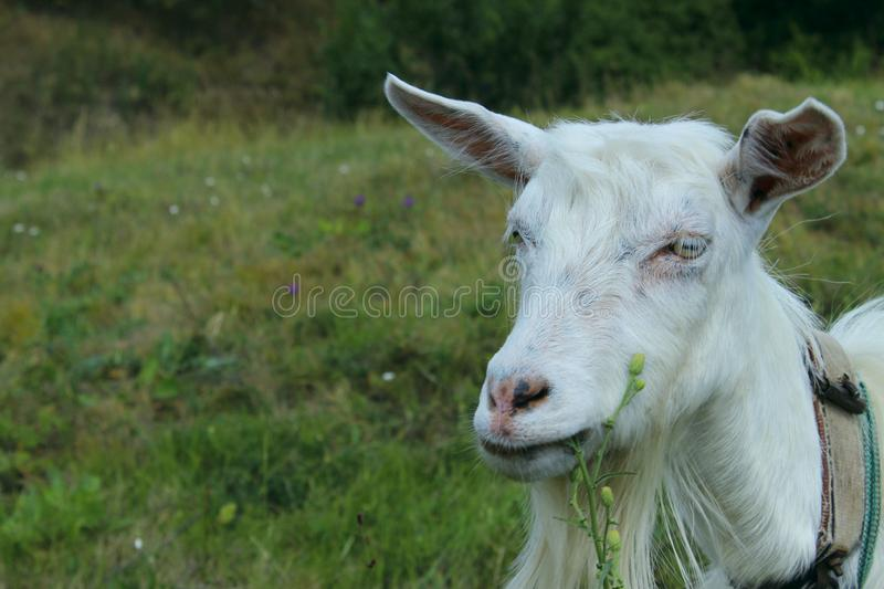 White goat outdoors. Goat Standing In Farm Pasture. Shot Of A Herd Of Cattle On A Dairy Farm. Nature, Farm, Animals Concept. Meadow and Goat royalty free stock image