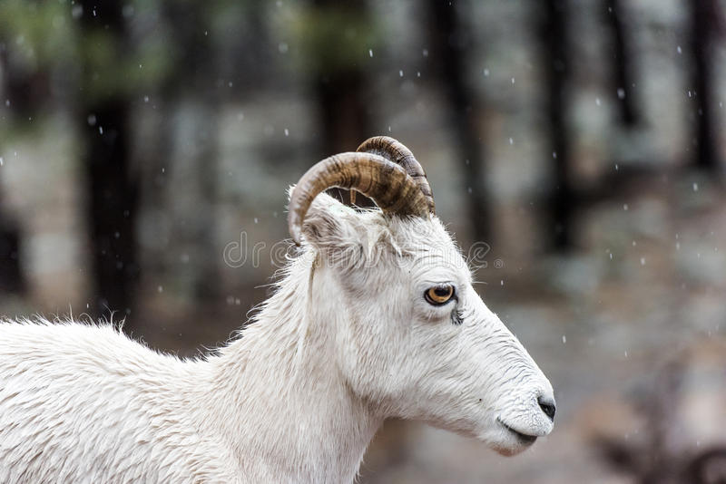 White goat. In the rain stock images