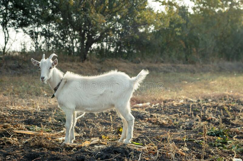 White goat staying in the field against trees stock photos