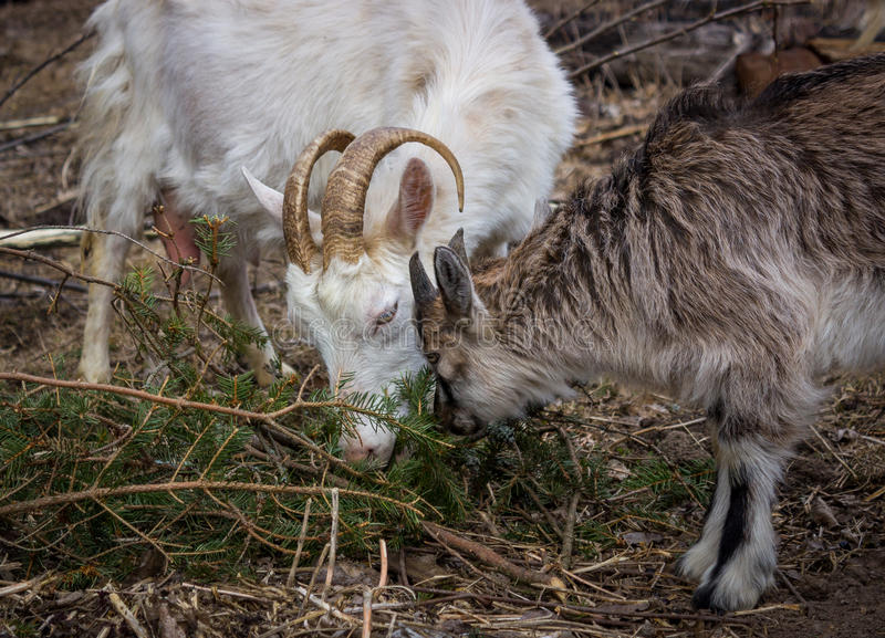 White goat with young goat stock photos