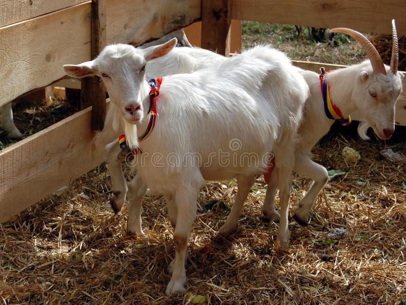 White goats. Animal farm: two white goats in an enclosure royalty free stock photography