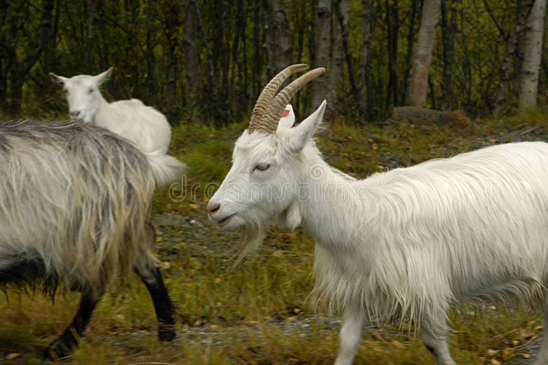 Download White goats stock photo. Image of grassy, woolly, forested - 1590040