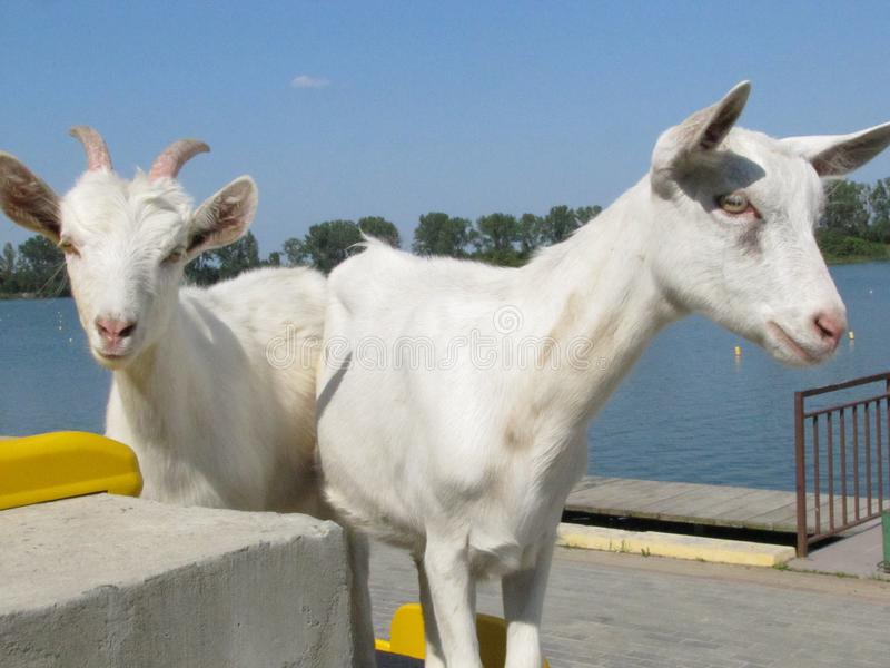 White goats in a stadion near water, goats graze, domestic goats stock photos
