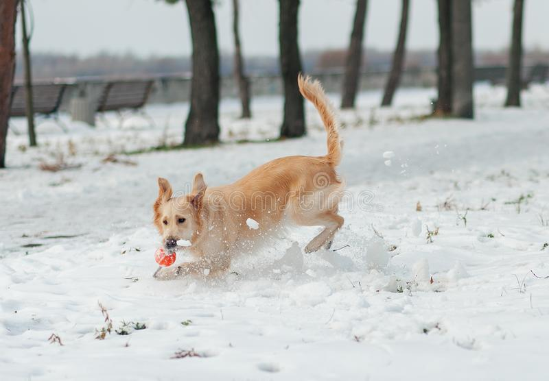 White golden retriever puppy playing on snow stock photo