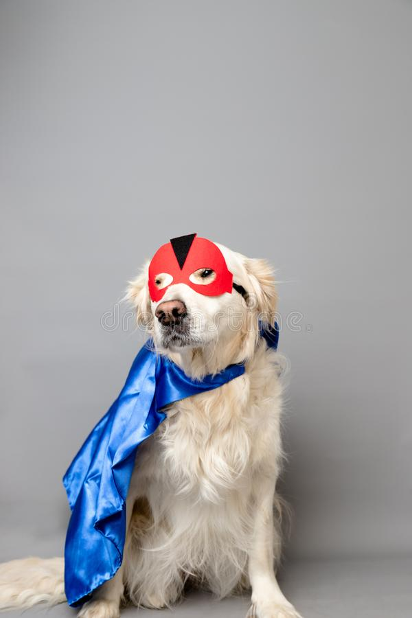White golden retriever with a red hero mask and blue cape against a grey seamless background. A white golden retriever with a red hero mask and blue cape against royalty free stock images