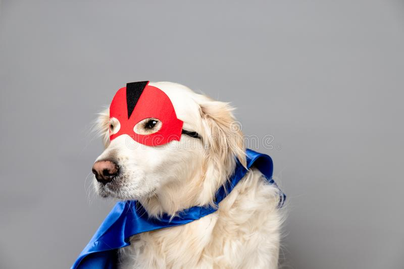 White golden retriever with a red hero mask and blue cape against a grey seamless background. A white golden retriever with a red hero mask and blue cape against stock image