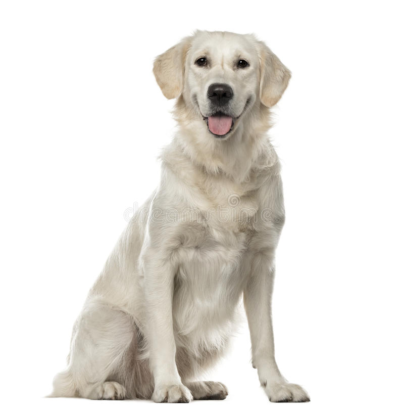 White Golden Retriever sitting, 19 months old stock photography