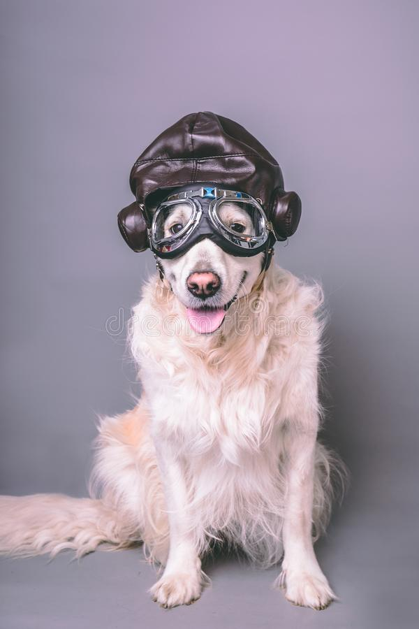 White golden retriever with vintage aviator helmet and goggles against a grey seamless background stock photo