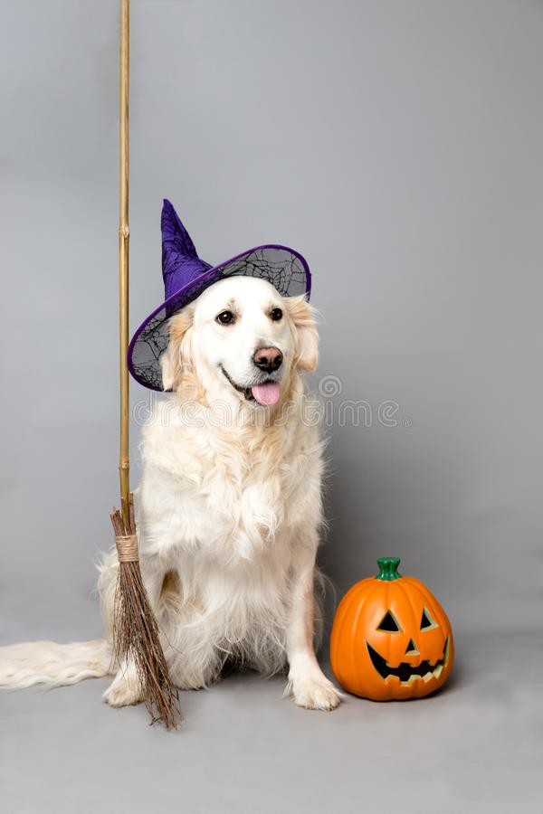 White golden retriever with a witch hat, broom, and jack o lantern against a grey seamless background stock photo