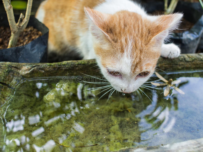 White Golden Stray Cat Drinking royalty free stock photo