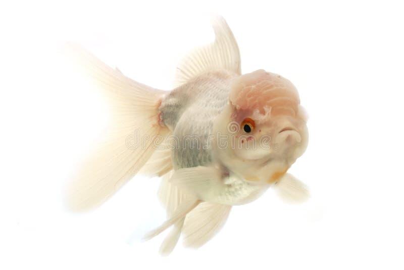 Download White Goldfish stock photo. Image of goldfish, water - 29087690