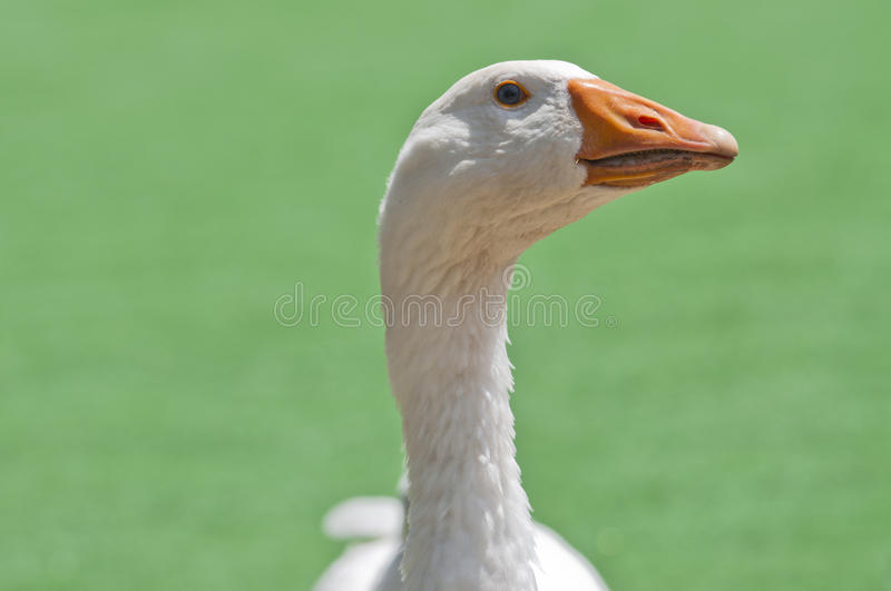 Download White goose stock photo. Image of growth, alone, length - 22684878
