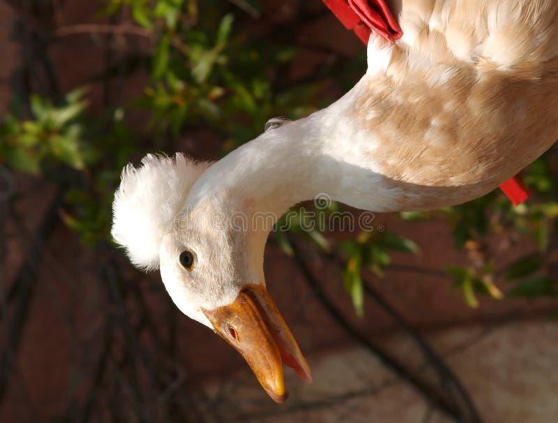 White Goose royalty free stock image