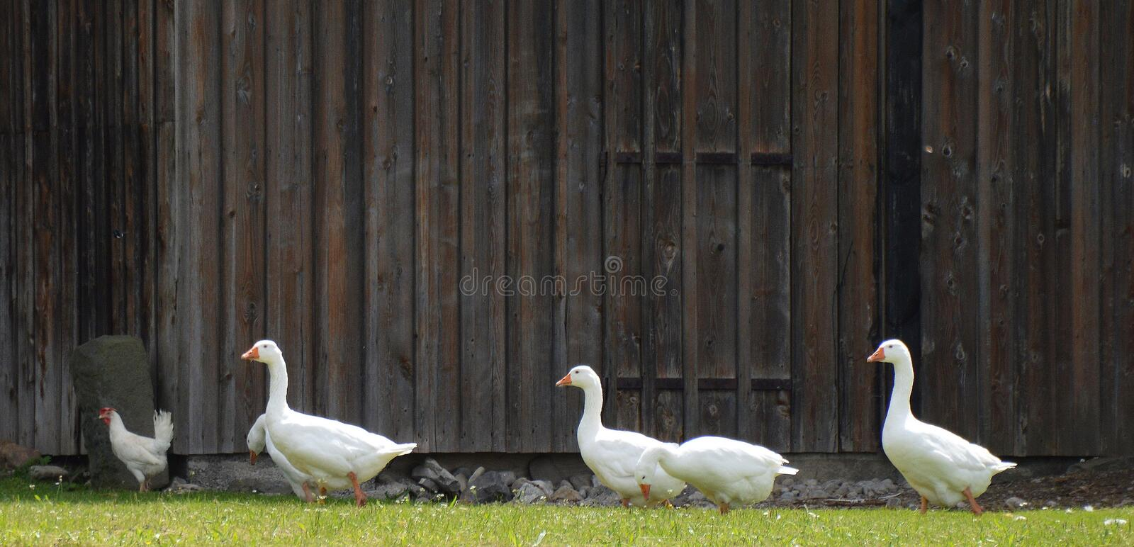 4 White Goose royalty free stock photos
