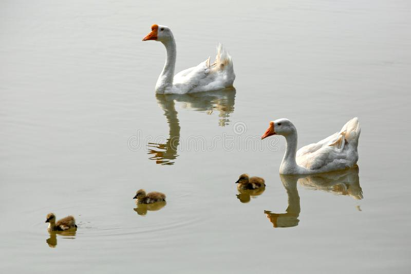 White Goose and baby. royalty free stock photos