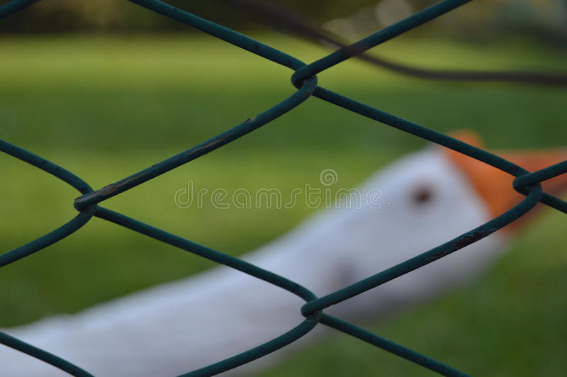 White goose. Behind the green fence royalty free stock images
