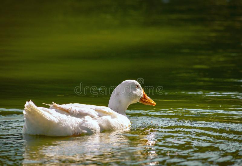 White goose bird wildlife animal Beaty calm and relaxing water lake outdoors nature landscape background. White goose aire bird wildlife animal beaty calm royalty free stock image