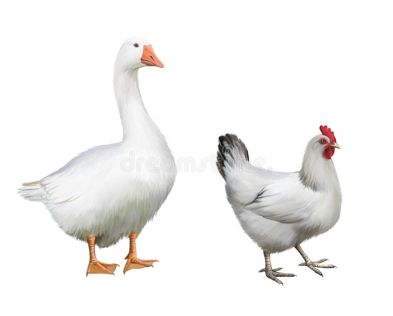 White Goose and white chicken. royalty free stock image