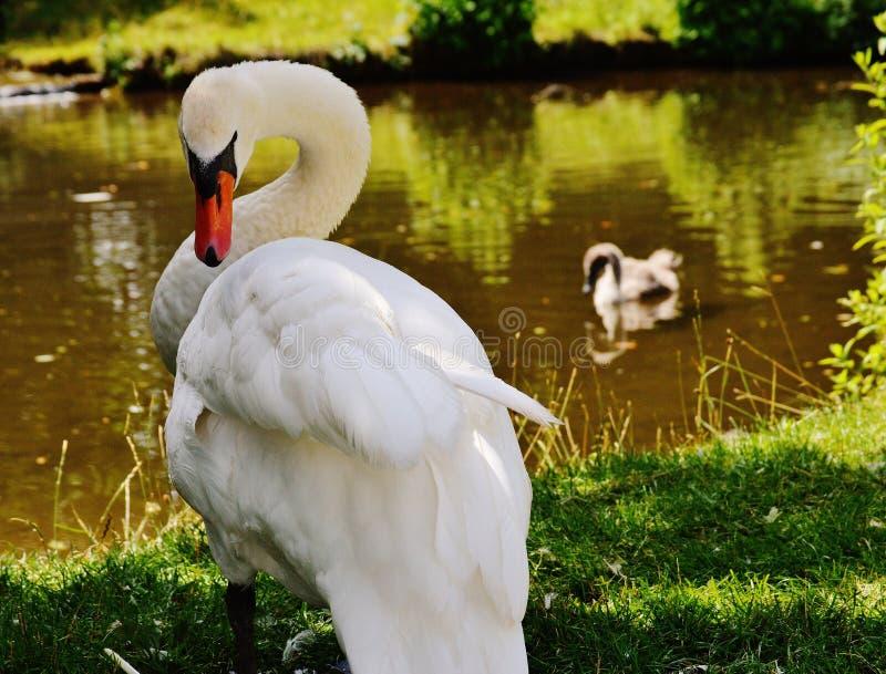 White Goose Close Up Photo stock image