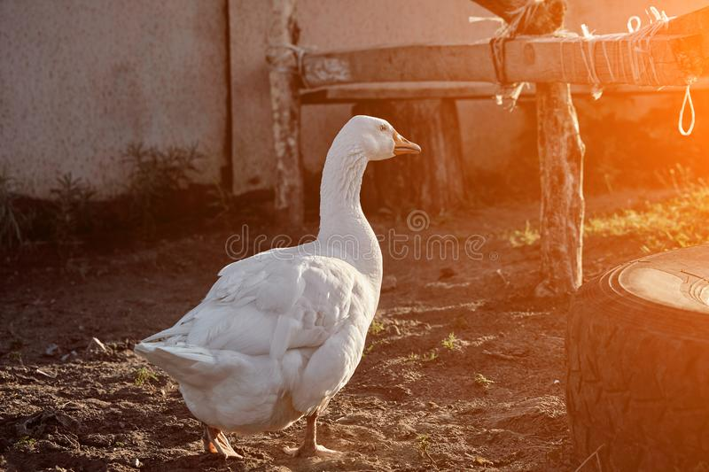 White Goose enjoying for walking in garden. Domestic goose. Goose farm. Home goose. Sun flare. White Goose enjoying for walking in garden. Domestic goose on a stock images