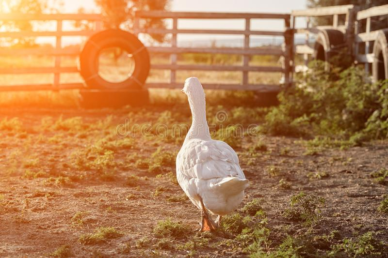 White Goose enjoying for walking in garden. Domestic goose. Goose farm. Home goose. Sun flare. White Goose enjoying for walking in garden. Domestic goose on a stock image