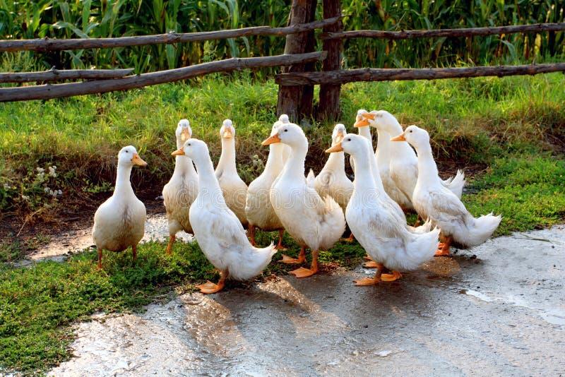 White goose on farm stock image
