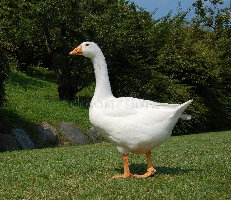 White goose in garden royalty free stock photo