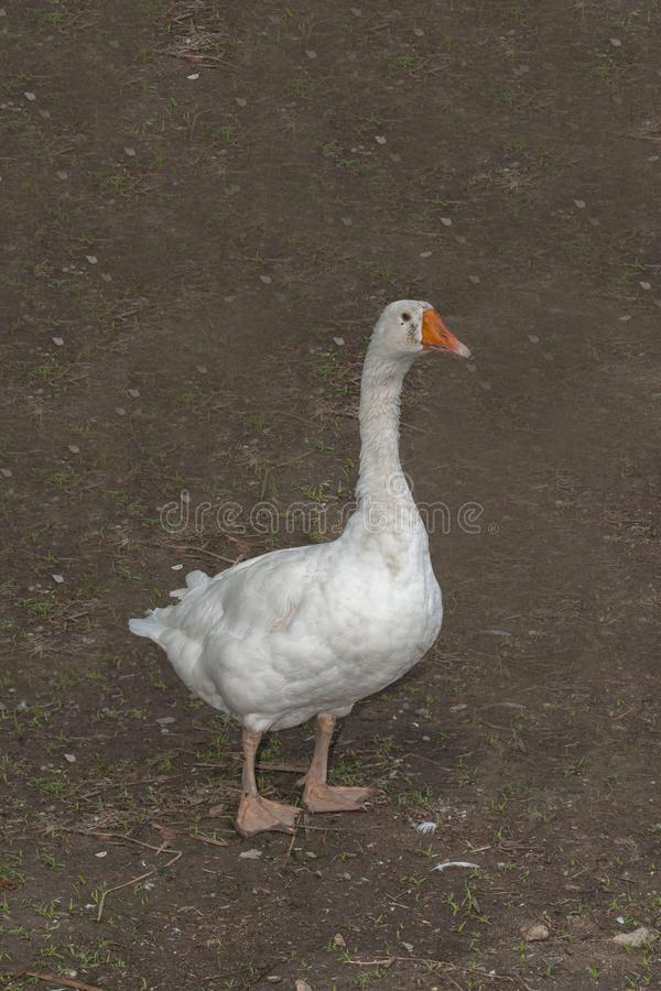 white goose in garden at thailand stock photography